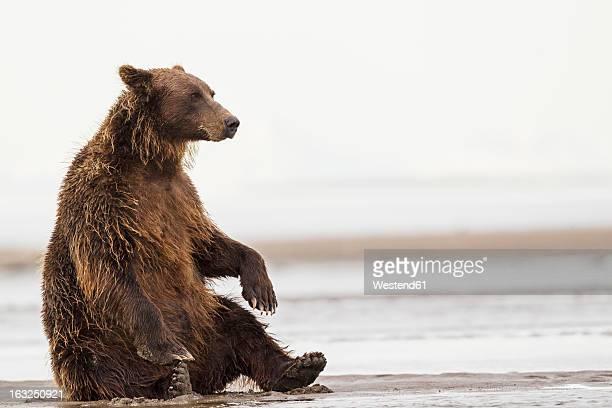 USA, Alaska, Brown bear in Silver salmon creek at Lake Clark National Park and Preserve