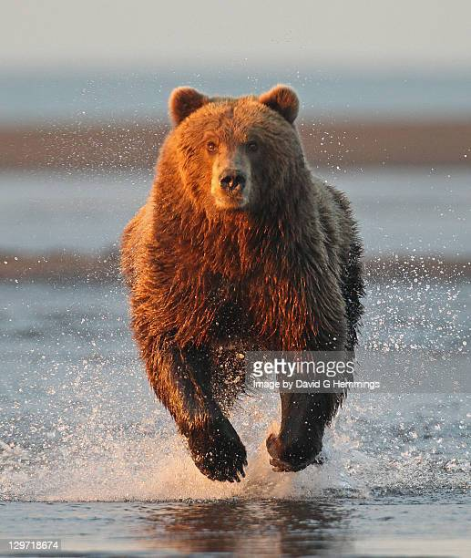 Alaska brown bear running in water