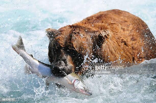 Alaska brown bear with salmon