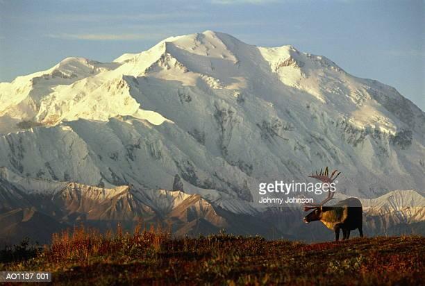 usa, alaska, denali national park, caribou in front of mt.mckinley - erbivoro foto e immagini stock
