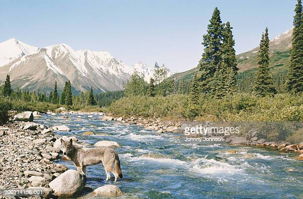 USA, Alaska, Denali National Park, gray wolf standing in creek