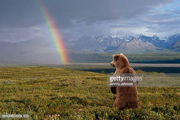 USA, Alaska, Denali National Park, grizzly bear (Ursus arctos) standing, looking at rainbow, rear view