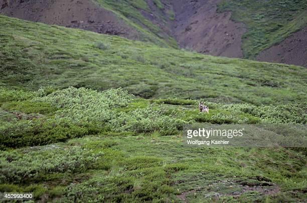 USA Alaska Denali National Park Near Sable Pass Grey Wolf