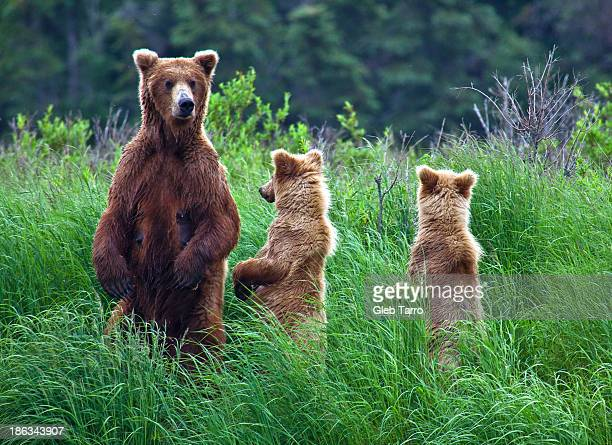 alaska female bear with cubs - three animals stock pictures, royalty-free photos & images