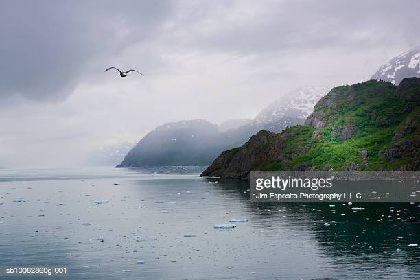 USA, Alaska, Glacier Bay, seagull flying over water and green mountain