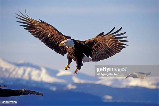 USA Alaska Homer Spit Bald Eagle Flying Approaching Landing