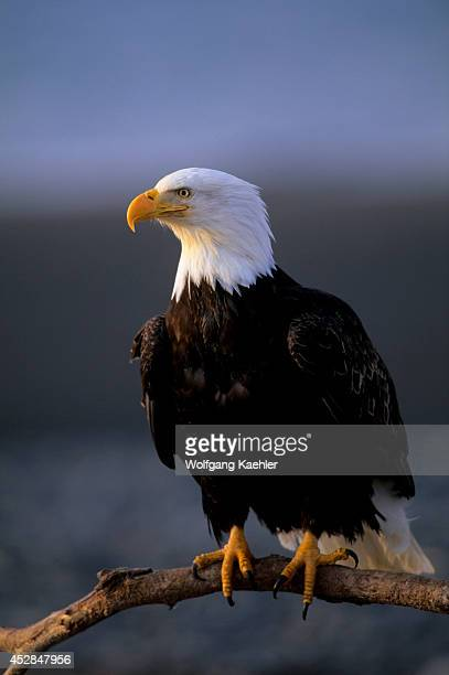 USA Alaska Homer Spit Bald Eagle Sitting On Log