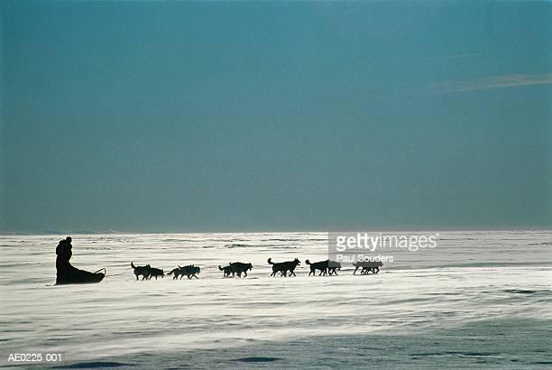 usa, alaska, iditarod race, female musher racing over sea ice - iditarod stock pictures, royalty-free photos & images
