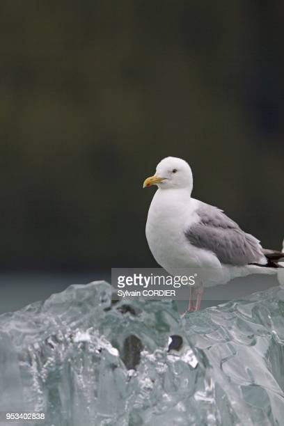 Alaska Inside passage Tracy Arm Glaucouswinged Gull on a piece of ice Order Charadriiformes Family Laridae