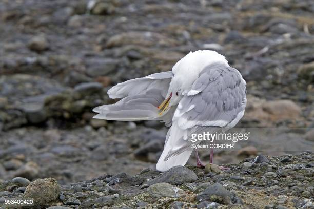 Alaska Katmai National Park and Preserve McNeil River Bear Viewing and Wildlife Sanctuary falls of the Mc Neil river Glaucouswinged Gull Order...