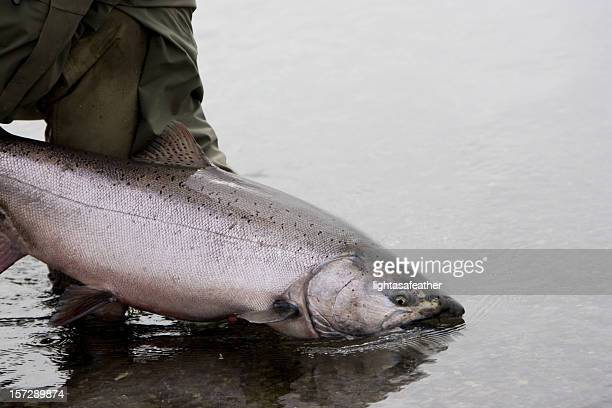 alaska king salmon release - chinook salmon stock photos and pictures