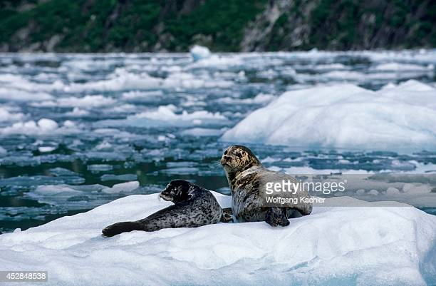USA Alaska Near Juneau Tracy Arm Harbor Seals Mother With Pup On Ice Floe