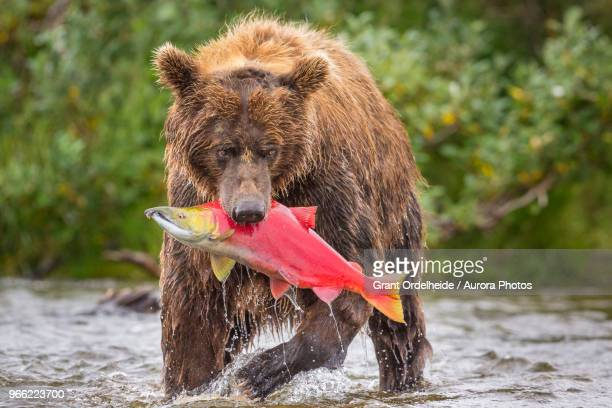 alaska peninsula brown bear (ursus arctos horribilis) with freshly caught salmon, katmai national park and preserve, alaska, usa - orso bruno foto e immagini stock