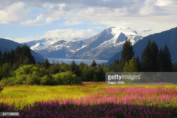 Alaska Scenic Mendenhall Glacier with Wildflower Meadow