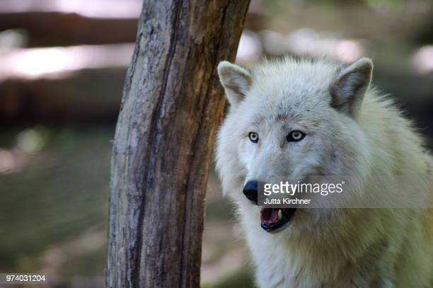 alaska wolf - arctic wolf stock photos and pictures