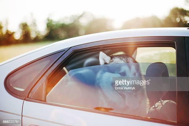 Alaskan almamute waiting inside a car