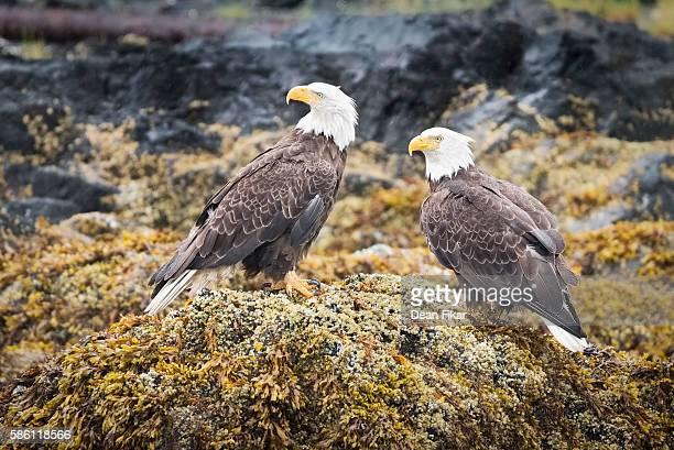 Alaskan Bald Eagle Pair