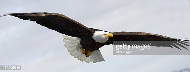 alaskan bald eagle soaring through the skies - eagle stock pictures, royalty-free photos & images