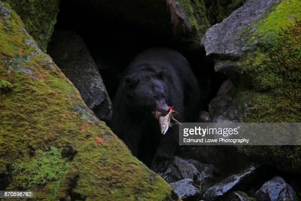 Alaskan Black Bear Gorging on Salmon