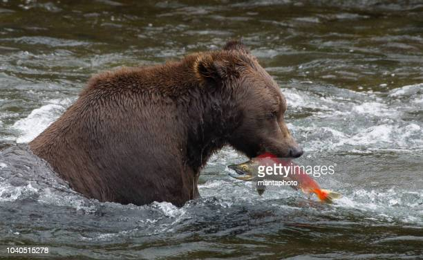alaskan brown bear catching salmon - chinook salmon stock photos and pictures