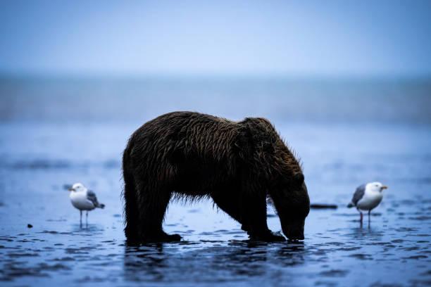 Alaskan Brown Bear Silhouette