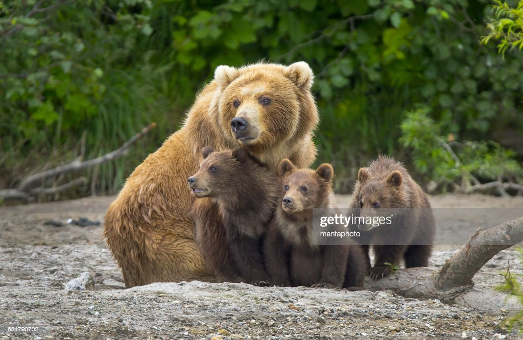 Alaskan brown bear sow and cubs : Stock Photo