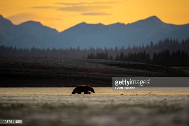 alaskan days end - bear stock pictures, royalty-free photos & images