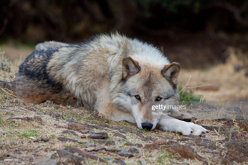 Alaskan Grey Wolf : Stock Photo