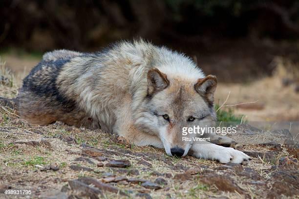 alaskan grey wolf - julian california stock photos and pictures
