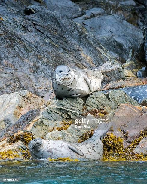 Alaskan Harbor Seal