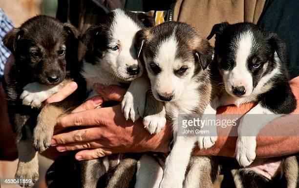 Alaskan Huskey puppies