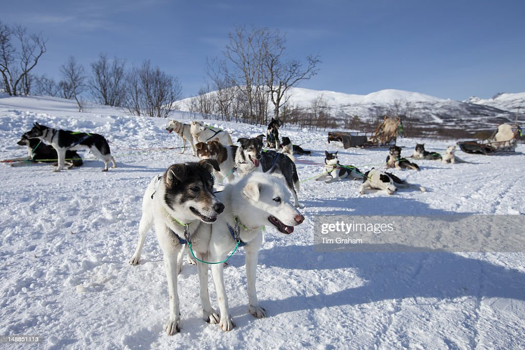 Alaskan Huskies, Arctic Circle, Tromso, Norway : News Photo