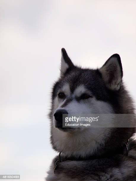 Alaskan Malamute Canis lupus familiaris