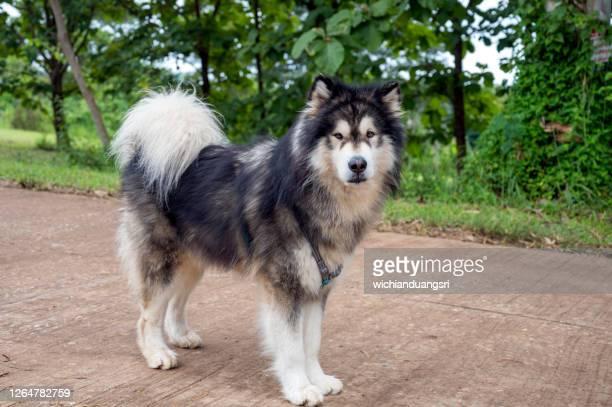 alaskan malamute dogs in khao kho district, thailand - マラミュート犬 ストックフォトと画像