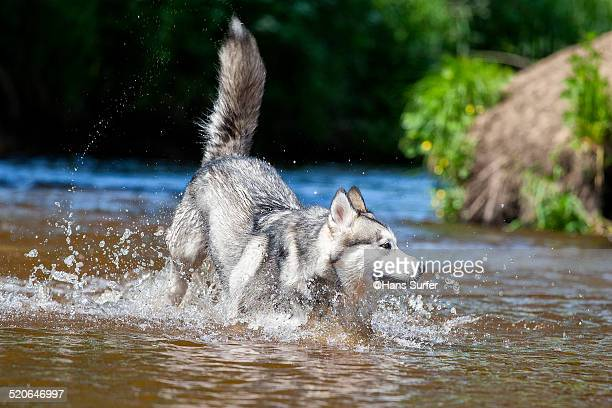 alaskan malamute in kneedeep water! - malamute stock pictures, royalty-free photos & images