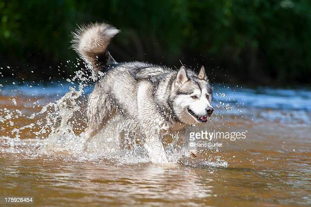 alaskan malamute is walking over the water! - malamute stock pictures, royalty-free photos & images