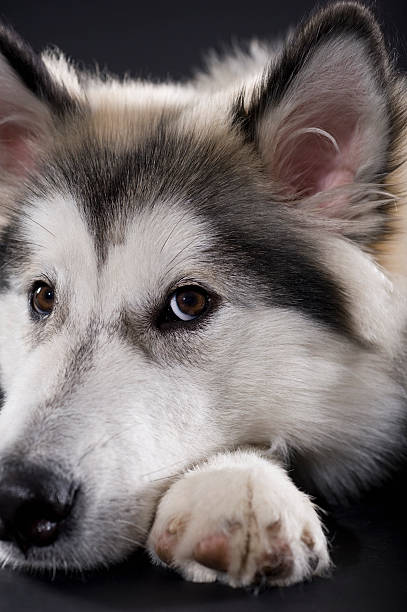 Alaskan Malamute Looking At Camera Wall Art