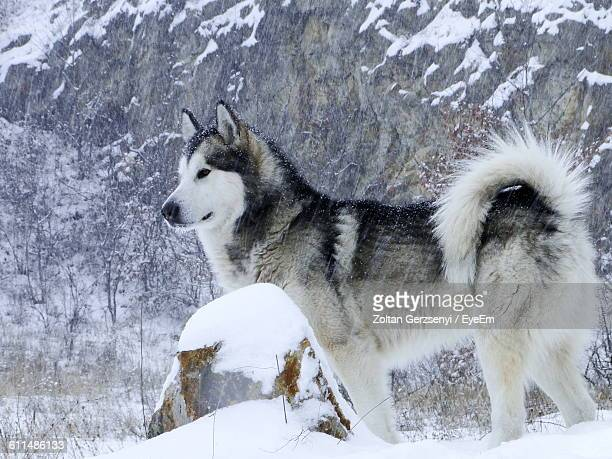 alaskan malamute on snow field during blizzard - malamute stock pictures, royalty-free photos & images