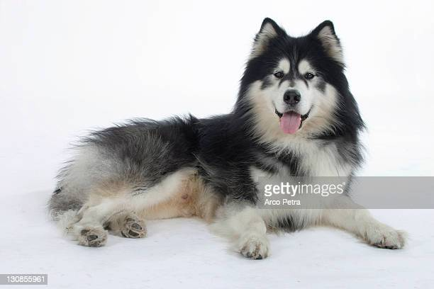 alaskan malamute - malamute stock pictures, royalty-free photos & images