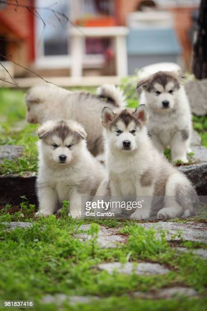 alaskan malamute puppies - malamute stock pictures, royalty-free photos & images