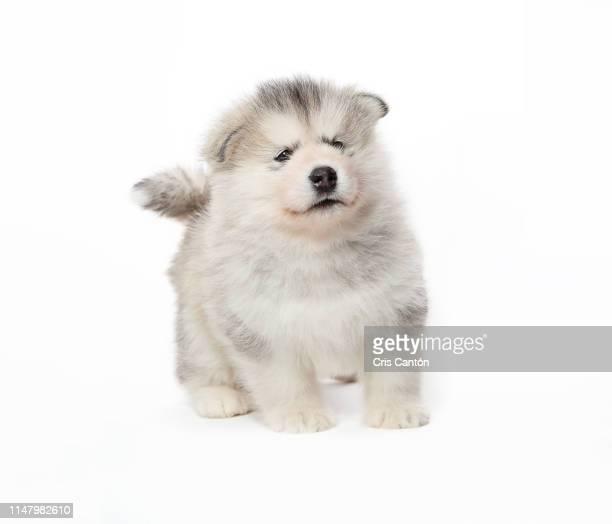 alaskan malamute puppy - cris cantón photography fotografías e imágenes de stock