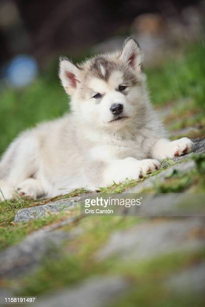 alaskan malamute puppy - cris cantón photography stock pictures, royalty-free photos & images