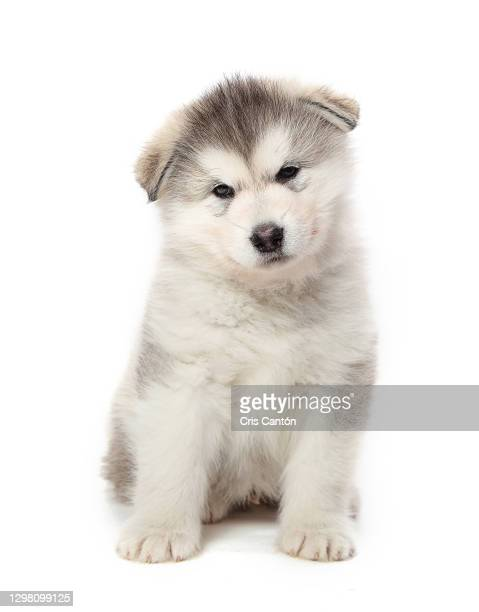 alaskan malamute puppy - puppies stock pictures, royalty-free photos & images