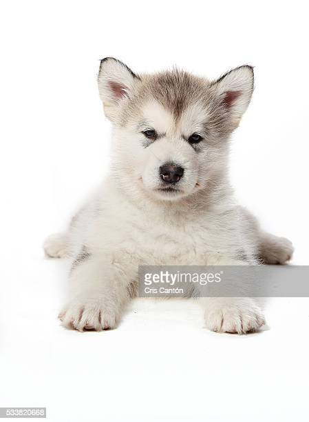 alaskan malamute puppy - malamute stock pictures, royalty-free photos & images