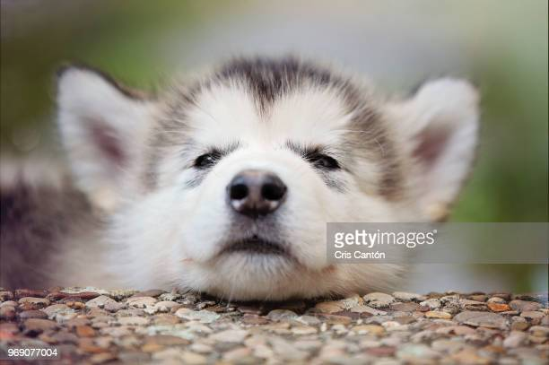 alaskan malamute puppy resting - malamute stock pictures, royalty-free photos & images