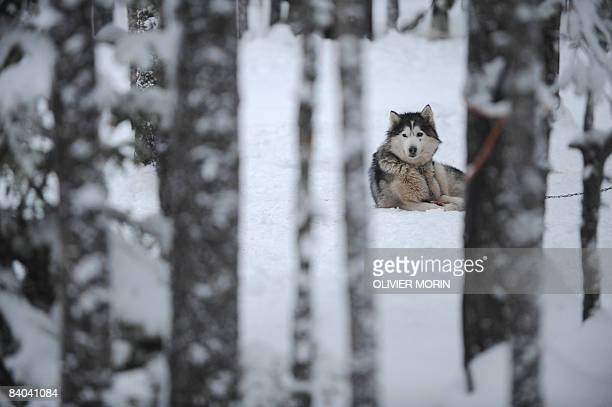 Alaskan malamute rests on December 15 in a Husky farm in Rovaniemi Husky is a general term for several breeds of dogs used as sled dogs Huskies were...