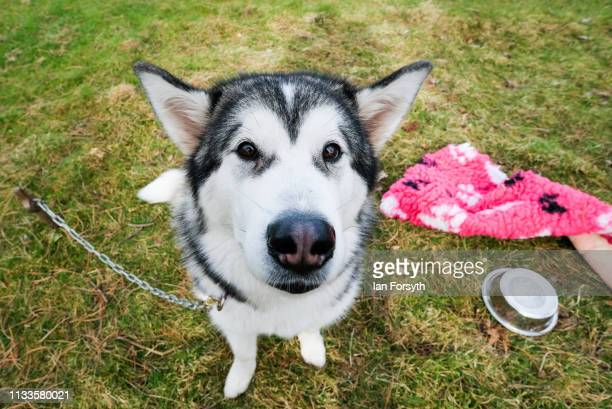 Alaskan Malamute sled dogs wait to meet veterans during the Phoenix Winter Games in Catterick Garrison on March 04, 2019 in Richmond, England....