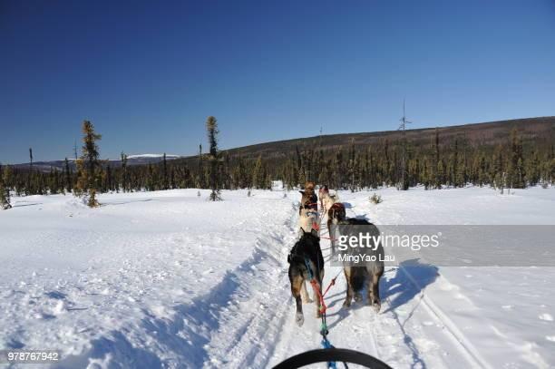 Alaskan Malamutes dragging sled, Alaska, USA