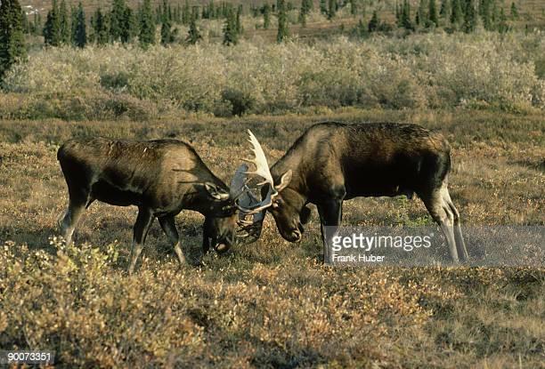 alaskan moose: alces alces  bulls do battle during rut  dena li natl park, alaska