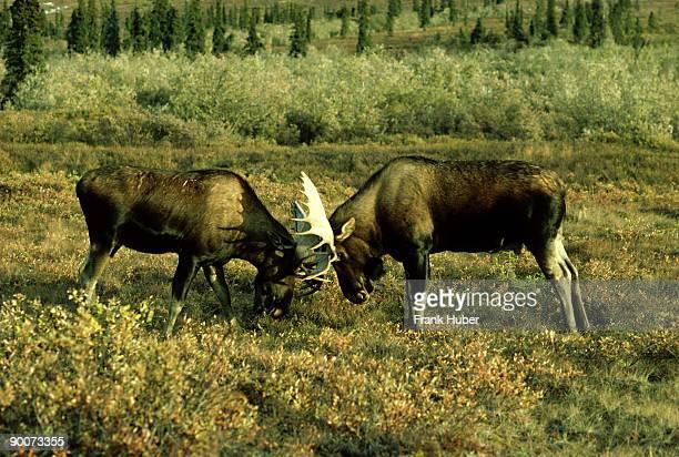 Alaskan moose, Alces alces, bulls do battle during rut, Denali NP, Alaska